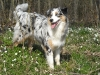 miniature-australian-shepherd-north-american-shepherd