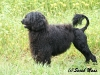 portugiesischer-wasserhund-coa-agua.jpg