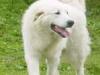 Pyrenäenberghund 2