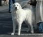Pyrenäenberghund 1