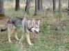 saarloos-wolfshunde