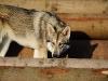 saarlooswolfhond