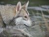 saarlooswolfhond1