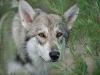 saarloos wolfhond4