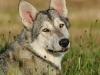 saarloos wolfhond5