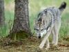 saarlooswolfhonde