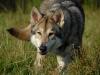 saarloos wolfhond saarloos wolfshund