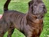 shar-pei-faltenhund