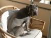 Shar Pei Faltenhund