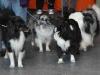 sheltie Shetland Sheepdog