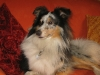 sheltie Shetland Sheepdog-blue-merle