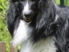 shetland Sheepdog schwarz weiss
