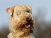 irish-soft-coated-wheaten-terrier-bilder