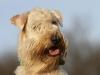 irish-soft-coated-wheaten-terrier-bilder