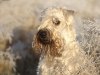 irish-soft-coated-wheaten-terrier-bilder3
