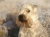 irish-soft-coated-wheaten-terrier-bilder3