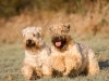 irish-soft-coated-wheaten-terrier-bilder4