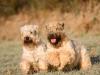 irish-soft-coated-wheaten-terrier-bilder4
