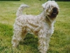 irish-soft-coated-wheaten-terrier
