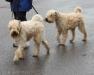 wheaten-terrier.jpg