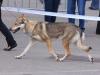 tschechoslowakischer-wolfshund