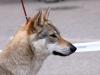 tschechoslowakischer-wolfshund2