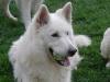 Weisser Schweizer Schäferhund berger blanc suisse