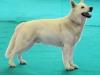 Weisser Schweizer Schäferhund Ausstellung berger blanc suisse