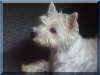 holly-west-highland-terrier