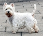 west_highland_white_terrier431_44755244755x_1191991409515.jpg