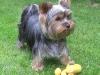 celine-yorkshire-terrier