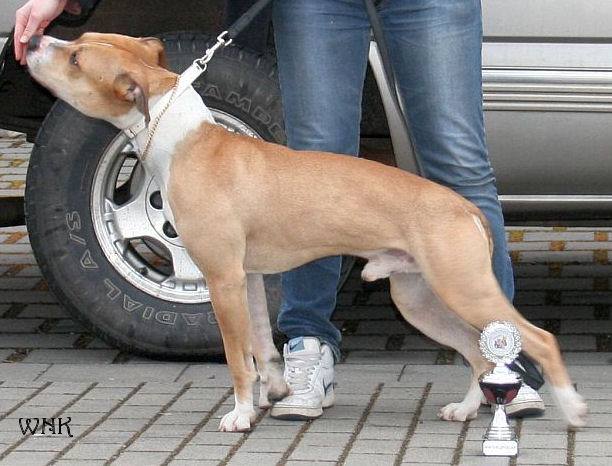 American Pit Bull Terrier - Pitbull - Pit Bullterrier - Amerikanischer