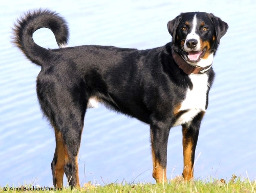 Appenzeller Sennenhund - Hunderasse A - Hundeseite.de