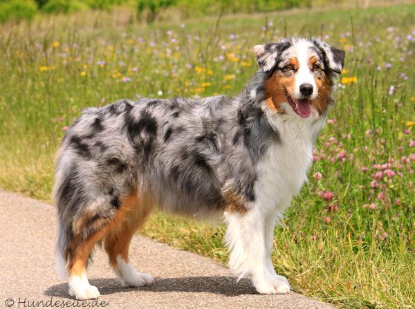 Australian Shepherd - Berger Australien - Australischer Schäferhund