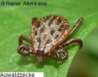 Auwaldzecke