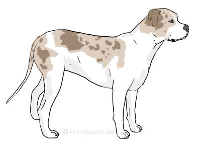 Catahoula Bulldog - Catbull