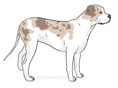 Catahoula Bulldog - Catbull