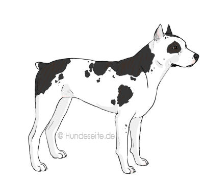 Catahoula Bullterrier