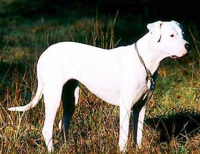 Dogo Argentino Hunderasse D Hundeseite De