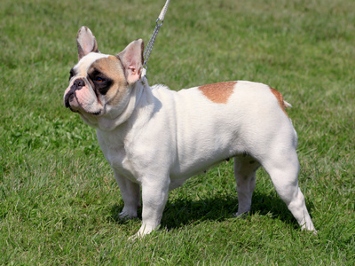 Französische Bulldogge - french bully - french bulldog - Bouledogue français