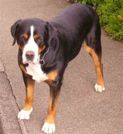 The Entlebucher Mountain Dog For Sale