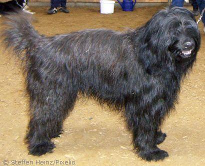 Gos d'Atura Catala- Perro de pastor catalan- Katalanischer Schäferhund- Hirtenhund