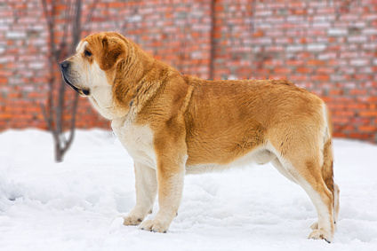 Spanish Mastiff - Spanischer Mastiff