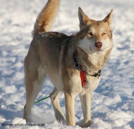 Saarlooswolfhond - Saarloos-Wolfhund