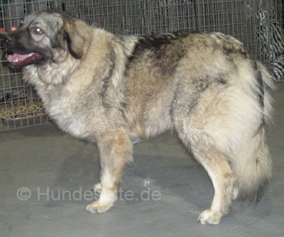 sarplaninac- YUGOSLAVIAN SHEPHERD DOG - SHARPLANINA