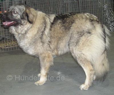 sarplaninac- YUGOSLAVIAN SHEPHERD DOG - SHARPLANINA