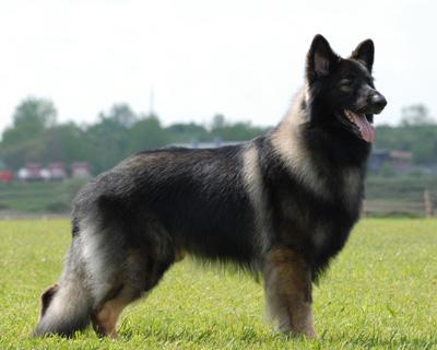 Shiloh Shepherd - Shiloh Schäferhund