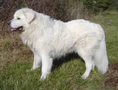 Slovensky Cuvac - slowakischer tschuwatsch - slovacian watchdog - cuvacit