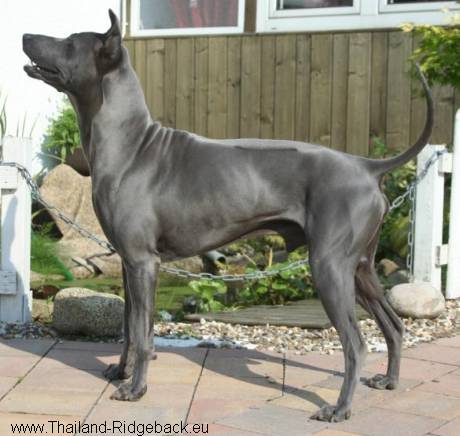 Thailand Thai Ridgeback Dog