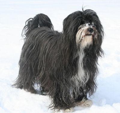 Tibet Terrier Tibetan Terrier